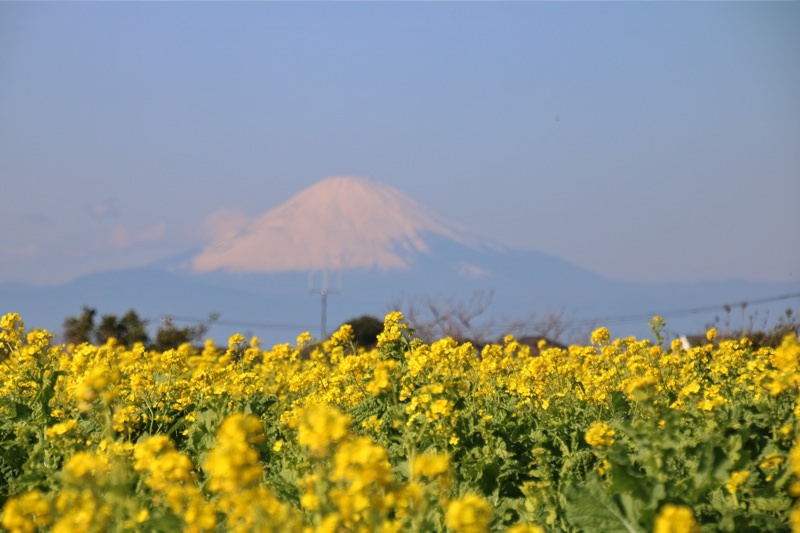 菜の花畑と富士山!